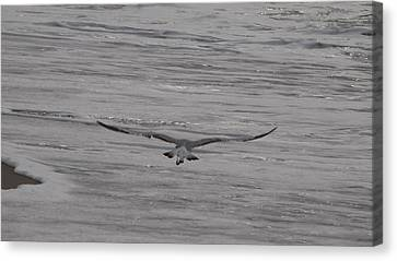 Canvas Print featuring the photograph Soaring Gull by  Newwwman