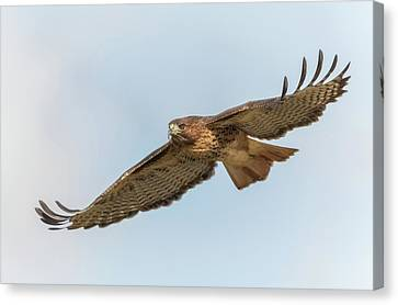 Canvas Print featuring the photograph Soaring Hawk 2 by Angie Vogel