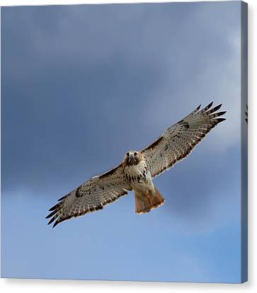 Soaring Red Tail Square Canvas Print by Bill Wakeley