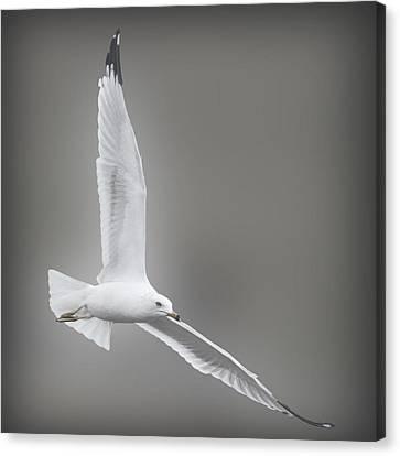 Soaring Seagull Canvas Print