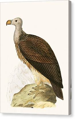 Sociable Vulture Canvas Print by English School