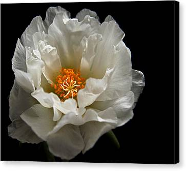 Canvas Print featuring the photograph Soft And Pure by Judy Vincent