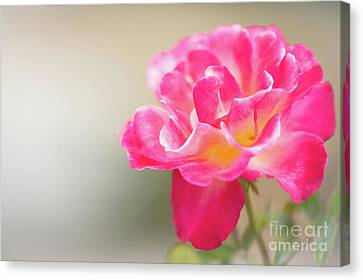 Canvas Print - Soft As A Whisper Of A Hot Pink Rose by Sabrina L Ryan