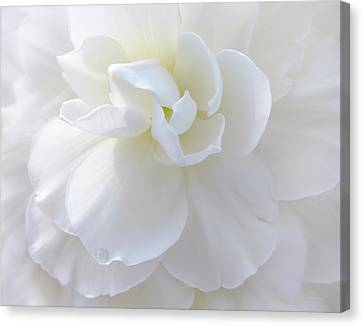 Soft Ivory Begonia Flower Canvas Print by Jennie Marie Schell