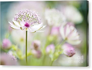 Close Focus Floral Canvas Print - Soft On Astrantia by Jacky Parker