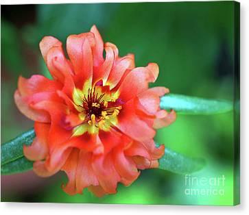Soft Peach Ruffled Petals Canvas Print by Sue Melvin