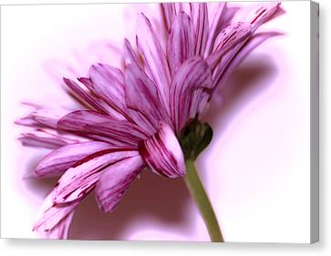 Soft Petals Canvas Print by Martin Newman