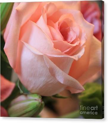 Soft Pink Rose Canvas Print by Carol Groenen