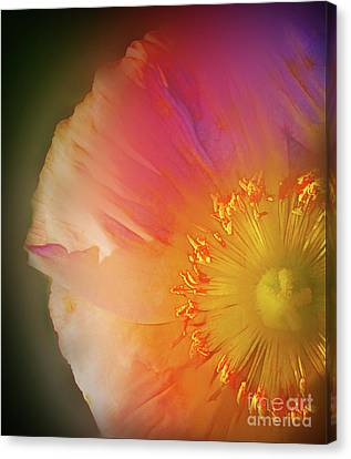 Soft  Poppy Whisper Canvas Print by Judi Bagwell