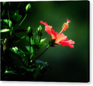 Soft Red Hibiscus Plant Canvas Print by Al  Mueller