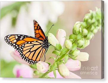 Soft Spring Butterfly Canvas Print by Ana V Ramirez