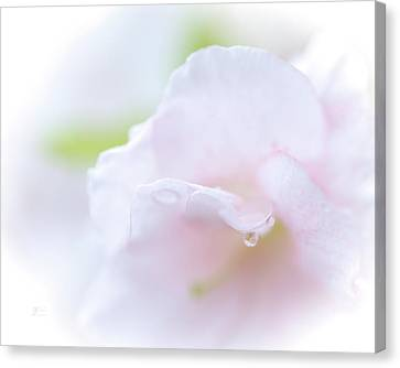 Soft Spring Showers On Rhododendron Canvas Print by Johanna Froese