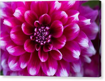 Soft Touch Dahlia Canvas Print by Mary Jo Allen