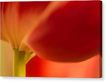 Soft Tulip Canvas Print
