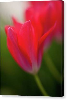 Soft Tulips Canvas Print by Mike Reid