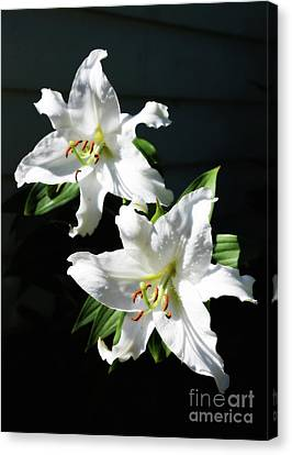 Soft White Lilies Canvas Print by Carol Groenen