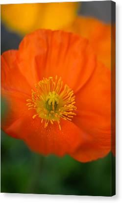 Softly Poppies Canvas Print by Kathy Yates