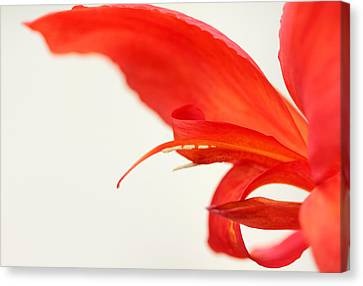 Softly Red Canna Lily Canvas Print
