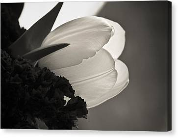 Lit Tulip Canvas Print by Marilyn Hunt