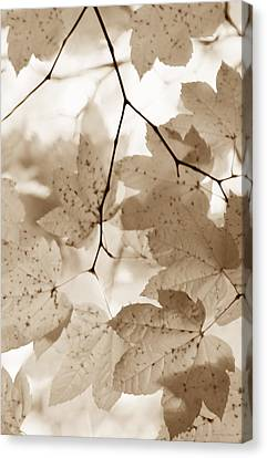 Softness Of Brown Maple Leaves Canvas Print by Jennie Marie Schell