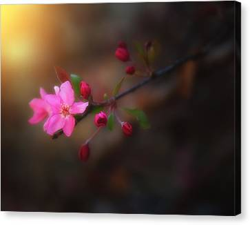 Softness Of Spring Canvas Print by Darren  White