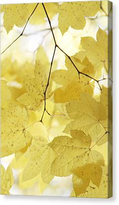 Softness Of Yellow Leaves Canvas Print by Jennie Marie Schell