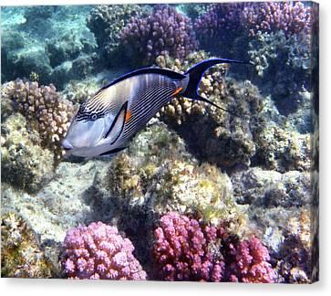 Sohal Surgeonfish 5 Canvas Print
