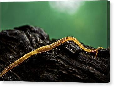 Soil Centipede Canvas Print by Ryan Kelly