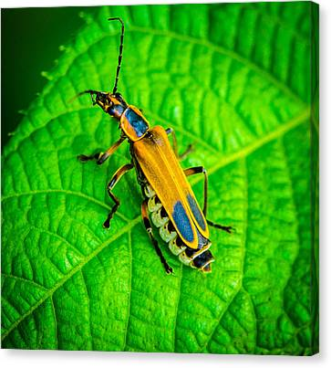 Soldier Beatle Macro Canvas Print by Bruce Pritchett
