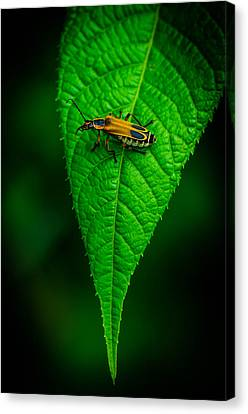 Soldier Beetle Canvas Print by Bruce Pritchett