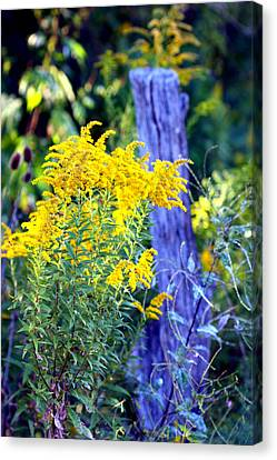 Solidago Canvas Print