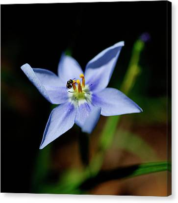Solitary Bee Canvas Print by Bill Morgenstern