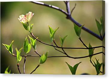 Solitary Dogwood Bloom Canvas Print by Teresa Mucha