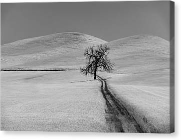 Solitary Oak Canvas Print by Jon Glaser