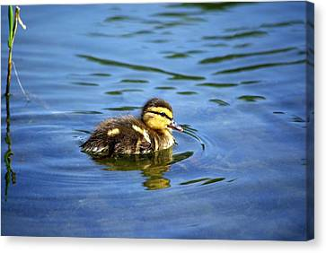 Solo Canvas Print by Linda Mishler