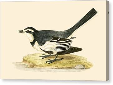 Sombre Wagtail Canvas Print by English School