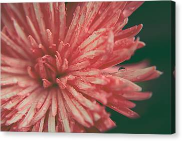 Dew Drops Canvas Print - Some Light Into My Darkness by Laurie Search