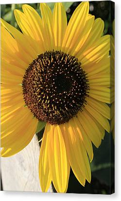 Son Of A Sun Canvas Print by Alan Rutherford