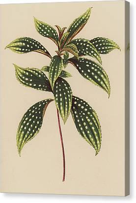 Sonerila Margaritacea Canvas Print by English School