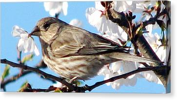 Song Sparrow Dining Out Canvas Print by Angela Davies