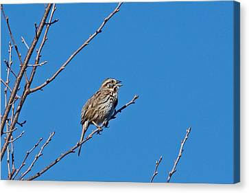 Canvas Print featuring the photograph Song Sparrow by Michael Peychich