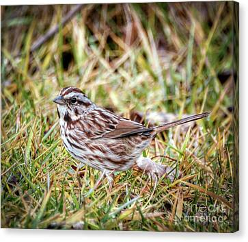 Canvas Print featuring the photograph Song Sparrow Sweetie by Kerri Farley