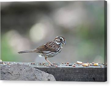 Song Sparrow With Seed In Beak Canvas Print by Dan Friend