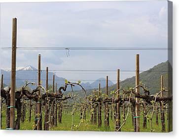 Soon Will Be Wine Canvas Print by Natalia Luchinina