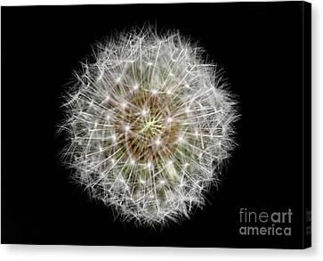 Soul Of A Dandelion Canvas Print by Karen Adams