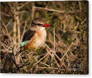 South African Brown-hooded Kingfisher Canvas Print by Andy Smy