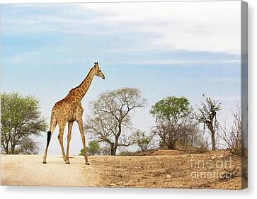 South African Giraffe Canvas Print by Jane Rix