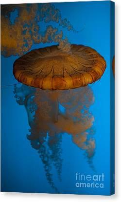 South American Sea Nettle Canvas Print by Jason O Watson