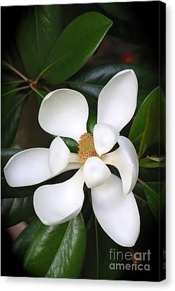 Southern Charm Magnolia Grandiflora Canvas Print by Carol Groenen
