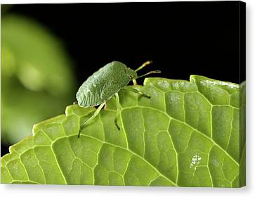 Southern Green Stink Bug Camouflaged On A Green Leaf Canvas Print by Sami Sarkis